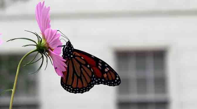 La mariposa seductora de la mansión Morris-Jumel en New York