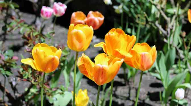 Flores de primavera en Villa La Angostura